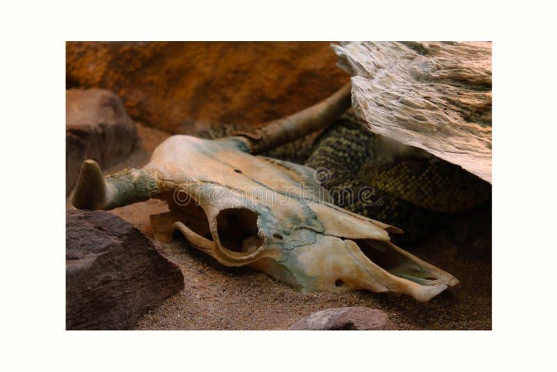 El blanco negro animal de la muerte de la serpiente de la serpiente del hueso del fondo esquelético principal esquelético del crá imagen de archivo libre de regalías