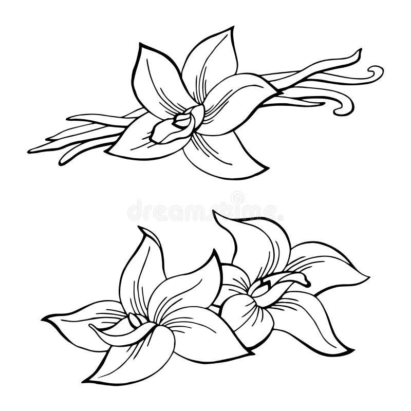 El blanco negro gráfico de la flor de la vaina de la vainilla aisló el ejemplo del bosquejo stock de ilustración