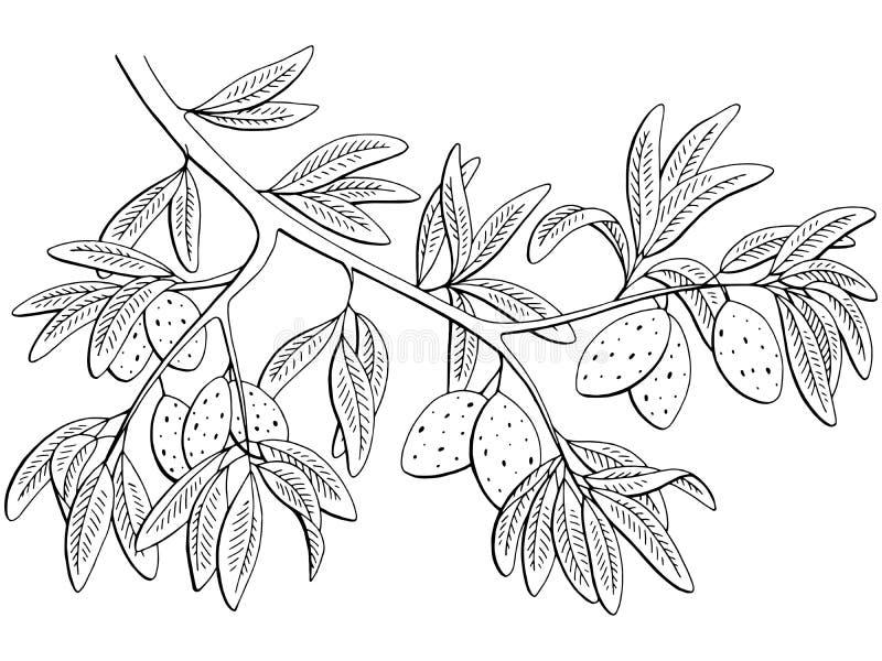 El blanco negro gráfico de la nuez de la almendra aisló vector del ejemplo del bosquejo de la rama ilustración del vector