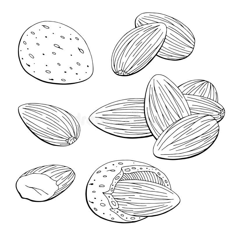 El blanco negro gráfico de la nuez de la almendra aisló vector determinado del ejemplo del bosquejo ilustración del vector