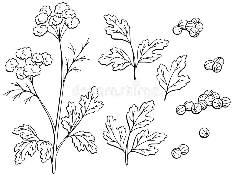 El blanco negro gráfico de la planta del cilantro del coriandro aisló vector determinado del ejemplo del bosquejo ilustración del vector