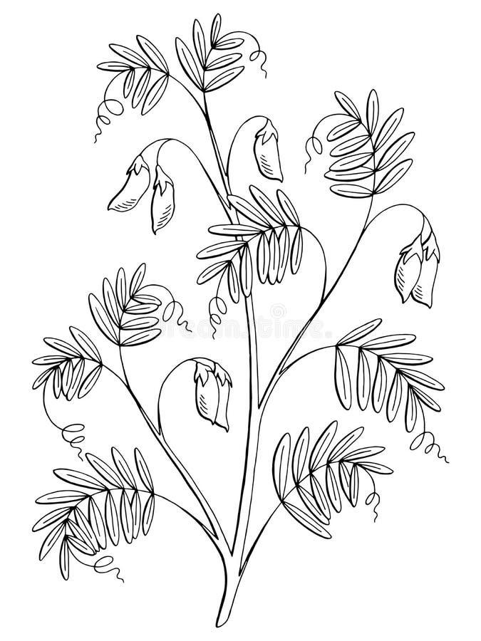 El blanco negro gráfico de la planta de lenteja aisló vector del ejemplo del bosquejo ilustración del vector