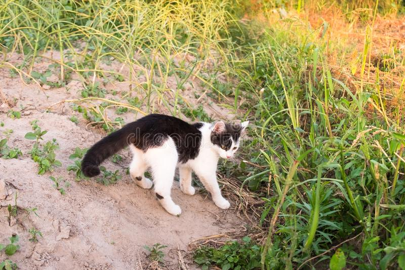 El blanco negro joven manchó la caza del gato en huerto El jugar nacional curioso activo sano del animal doméstico al aire libre  imagen de archivo libre de regalías