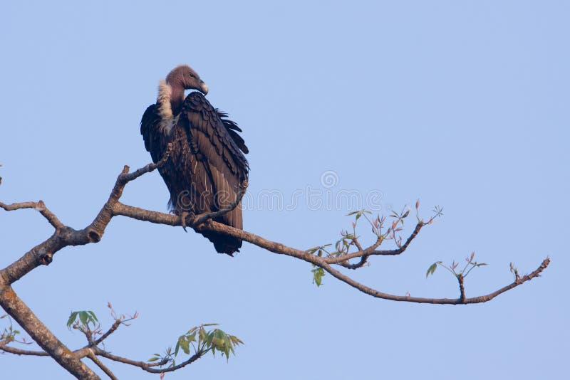 El blanco rumped el buitre en una rama, Lumbini, Nepal fotografía de archivo