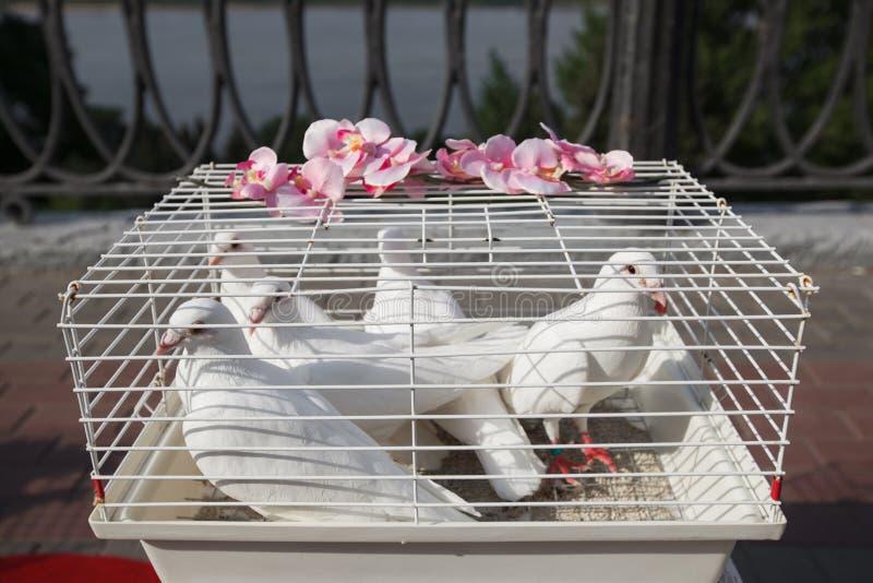 El blanco se zambulló, casandose la paloma de la paloma en una jaula imagenes de archivo