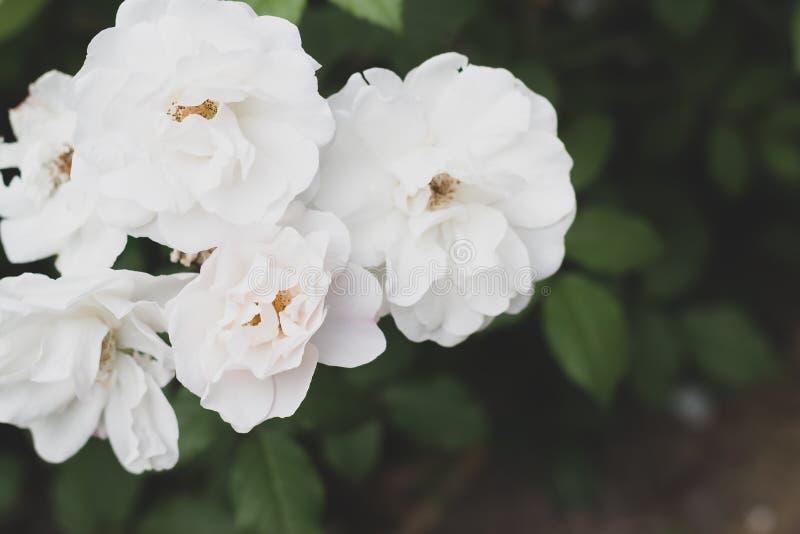 El blanco subió las flores con las hojas verdes en el jardín Fondo que se casa romántico del verano para la tarjeta de felicitaci imagen de archivo
