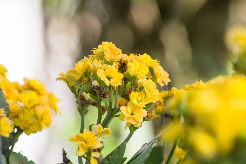 El blossfeldiana de Kalanchoe es amarillo en potes en el jardín fotografía de archivo