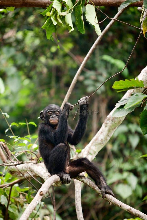 El Bonobo del cachorro imagenes de archivo