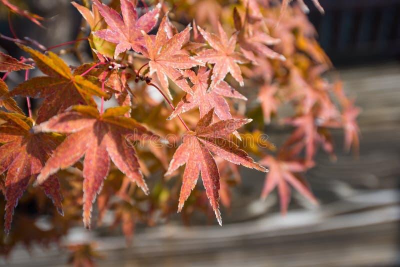 El bonsai del arce japonés se va en la estación del otoño fotos de archivo
