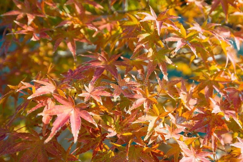 El bonsai del arce japon?s se va en la estaci?n del oto?o imagenes de archivo