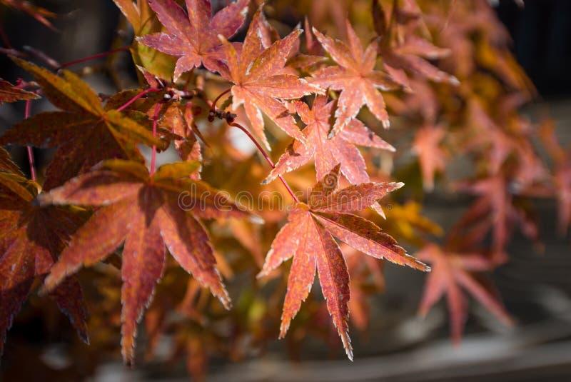 El bonsai del arce japon?s se va en la estaci?n del oto?o imagen de archivo libre de regalías