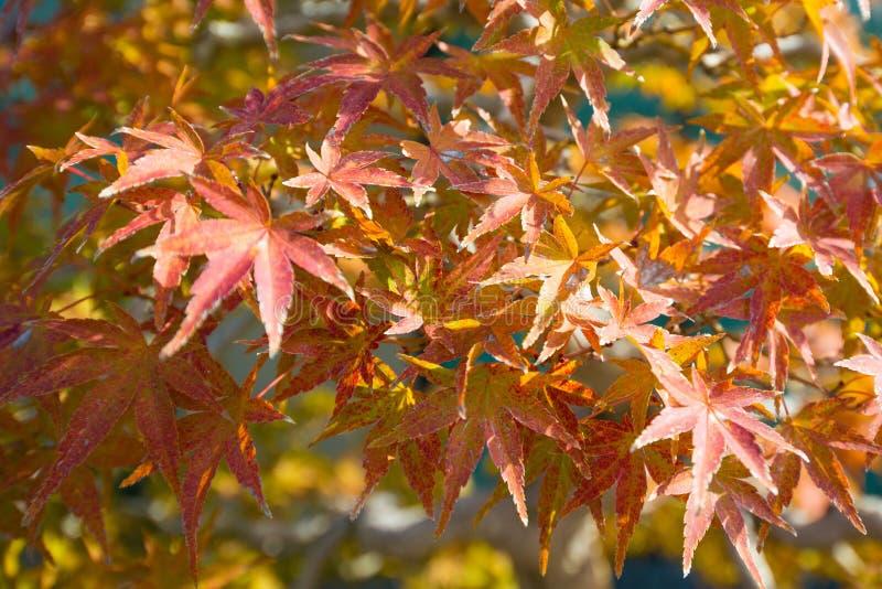 El bonsai del arce japon?s se va en la estaci?n del oto?o fotos de archivo