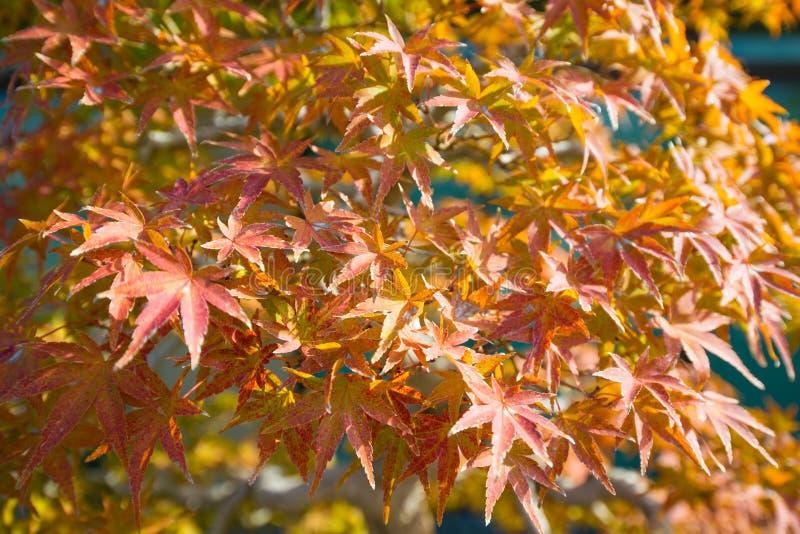 El bonsai del arce japon?s se va en la estaci?n del oto?o foto de archivo libre de regalías