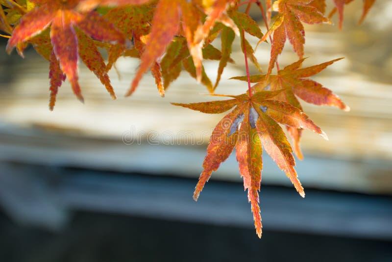 El bonsai del arce japon?s se va en la estaci?n del oto?o fotos de archivo libres de regalías