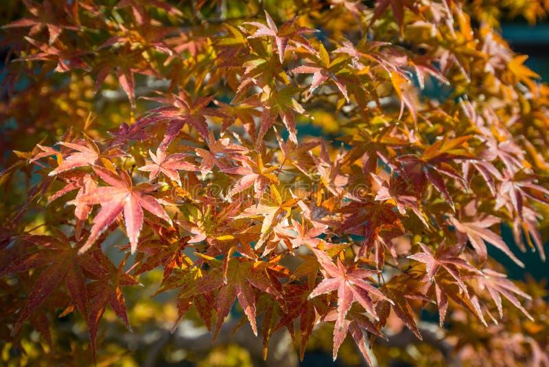 El bonsai del arce japon?s se va en la estaci?n del oto?o foto de archivo
