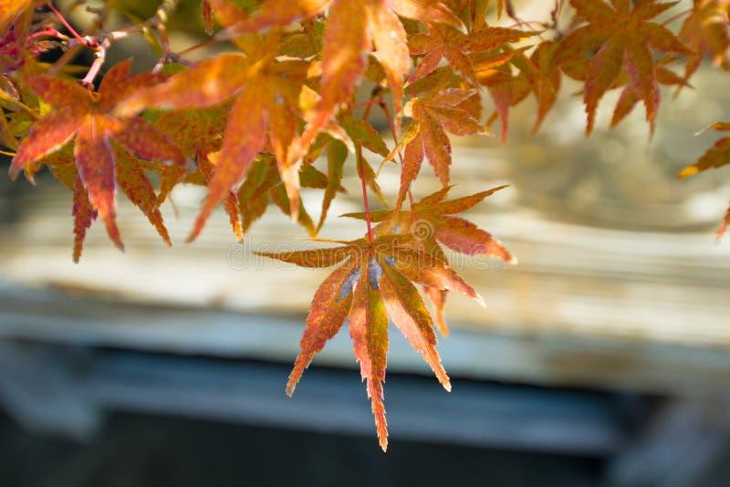 El bonsai del arce japon?s se va en la estaci?n del oto?o imagen de archivo