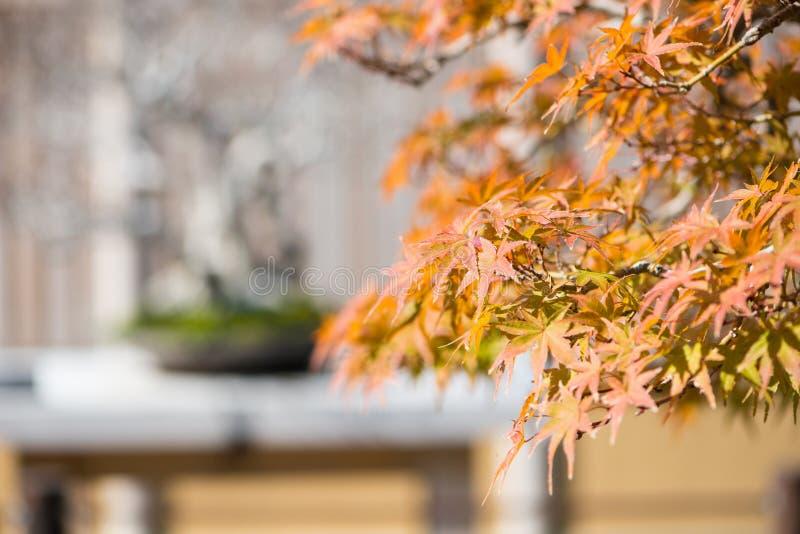 El bonsai del arce japon?s se va en la estaci?n del oto?o imágenes de archivo libres de regalías