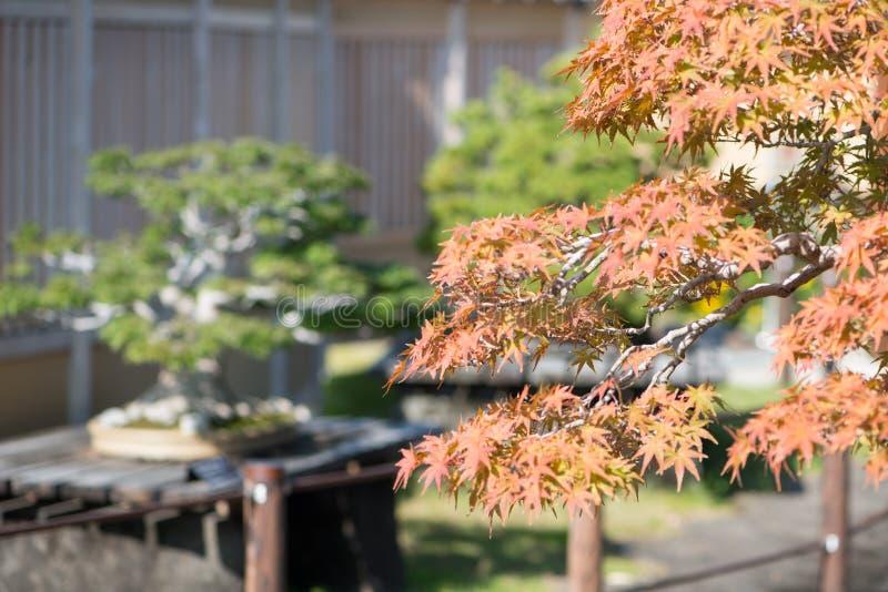 El bonsai del arce japon?s se va en pueblo de los bonsais de Omiya de la estaci?n del oto?o imagen de archivo