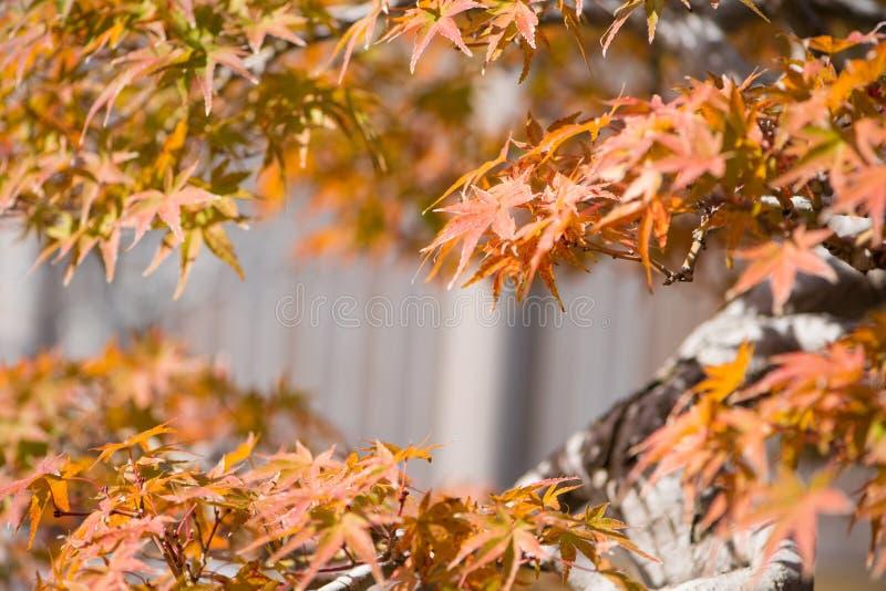 El bonsai del arce japon?s se va en pueblo de los bonsais de Omiya de la estaci?n del oto?o foto de archivo libre de regalías