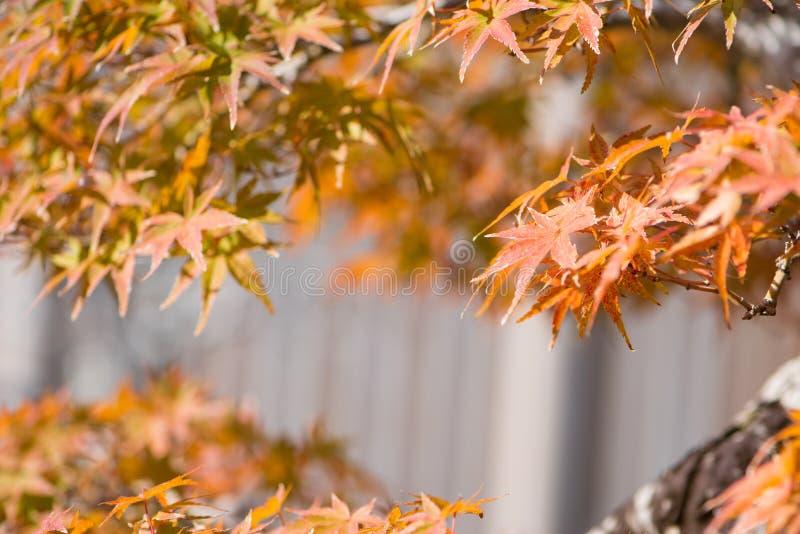El bonsai del arce japon?s se va en pueblo de los bonsais de Omiya de la estaci?n del oto?o fotografía de archivo