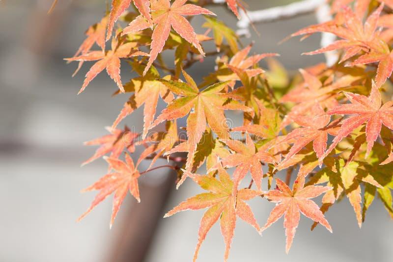 El bonsai del arce japon?s se va en pueblo de los bonsais de Omiya de la estaci?n del oto?o imagen de archivo libre de regalías