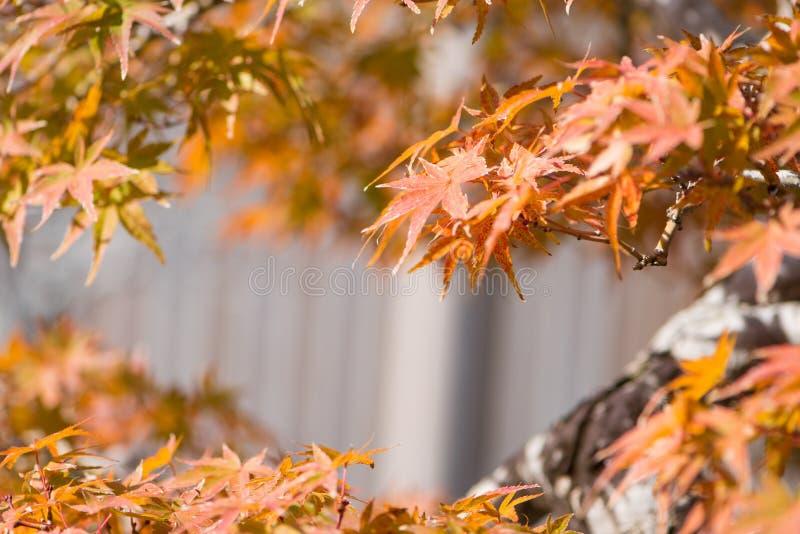 El bonsai del arce japon?s se va en pueblo de los bonsais de Omiya de la estaci?n del oto?o fotos de archivo