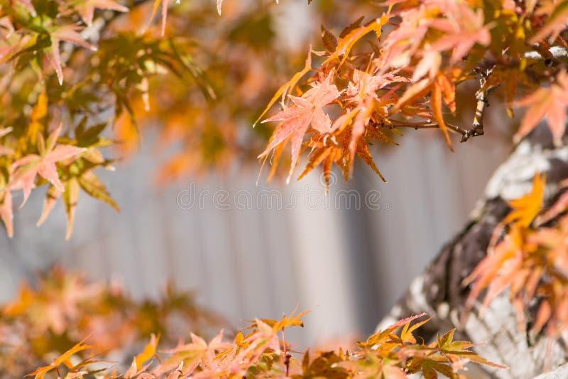 El bonsai del arce japon?s se va en pueblo de los bonsais de Omiya de la estaci?n del oto?o imagenes de archivo