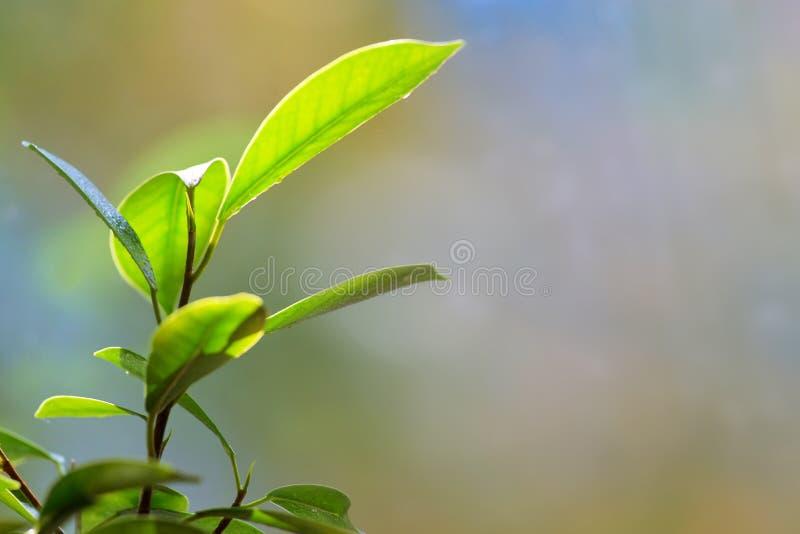 El bonsai sale de los detalles imagen de archivo libre de regalías