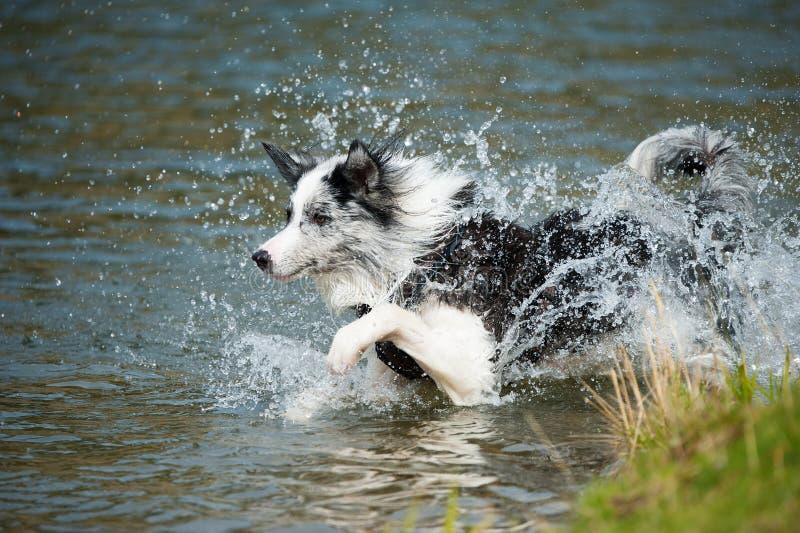 El border collie corre en el agua imagen de archivo
