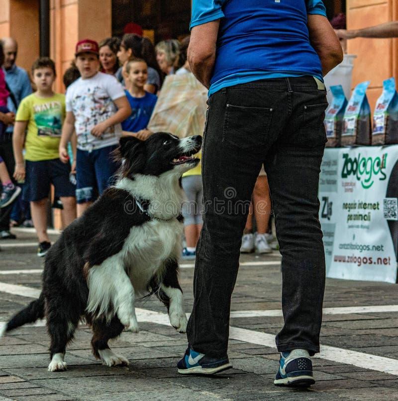 El border collie es un perro bien proporcionado con un aspecto armonioso y atlético fotografía de archivo