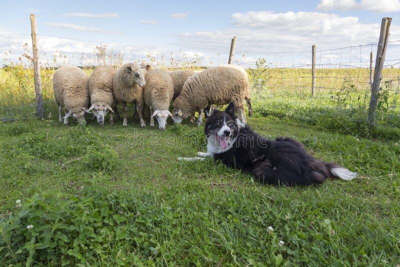 El border collie mira detrás con la lengua que cuelga hacia fuera mientras que amontonan las ovejas imágenes de archivo libres de regalías