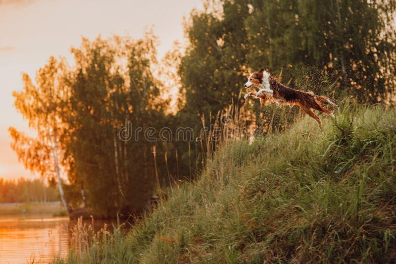 El border collie tricolor salta en el lago en la puesta del sol fotos de archivo