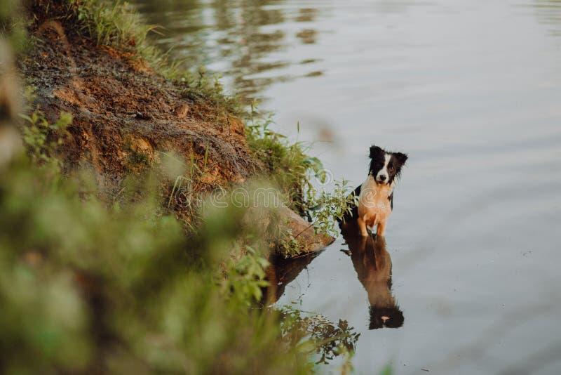El border collie tricolor salta en el lago en la puesta del sol foto de archivo