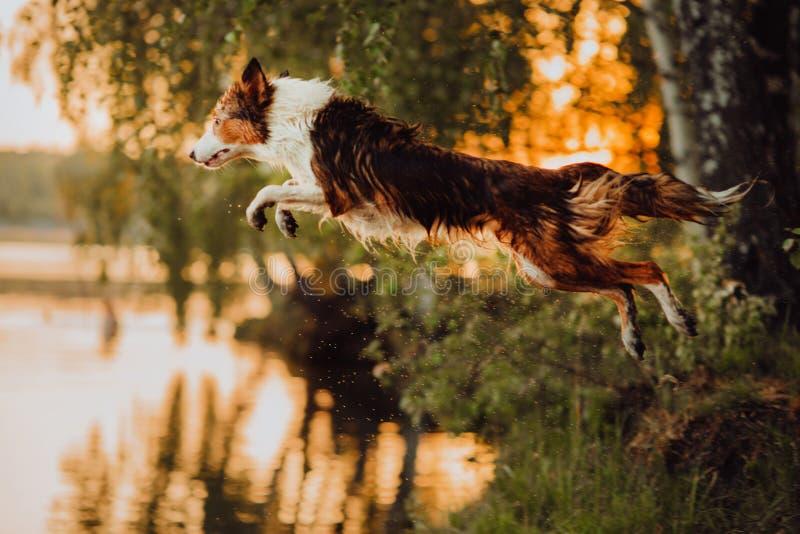 El border collie tricolor salta en el lago en la puesta del sol imagen de archivo