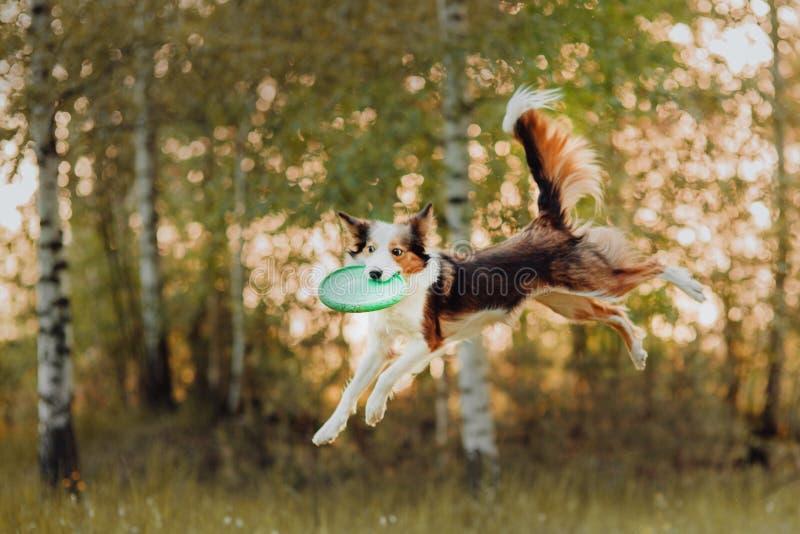 El border collie vuela y coge un disco volador en el bosque foto de archivo libre de regalías