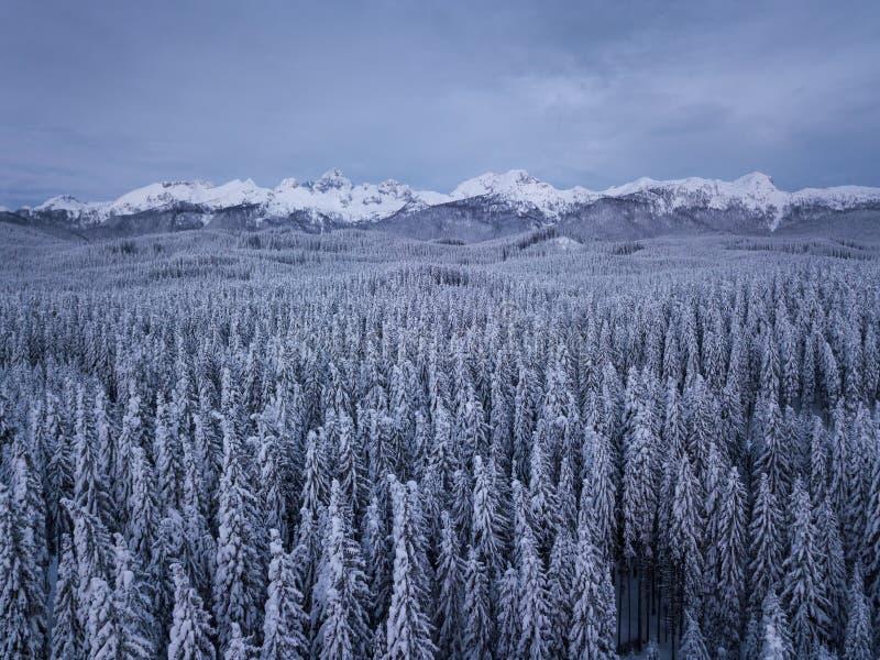 El bosque alpino del invierno en Pokljuka Eslovenia cubrió en nieve en el amanecer fotografía de archivo
