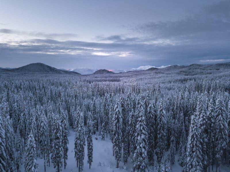 El bosque alpino del invierno en Pokljuka Eslovenia cubrió en nieve en el amanecer imagen de archivo libre de regalías