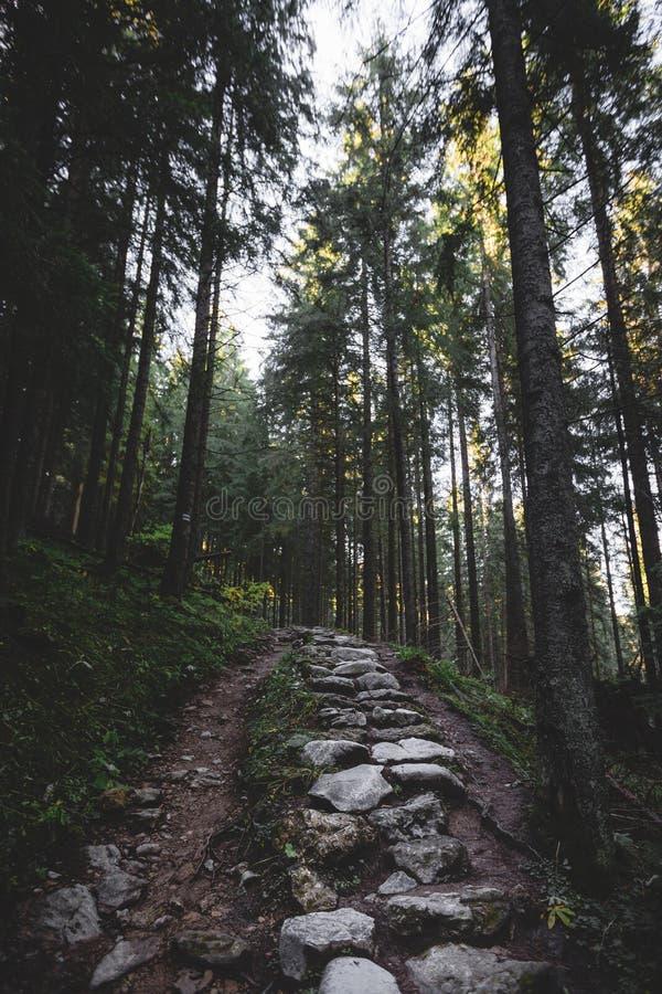 El bosque brumoso y muchos árboles verticales por la tarde se encienden fotografía de archivo