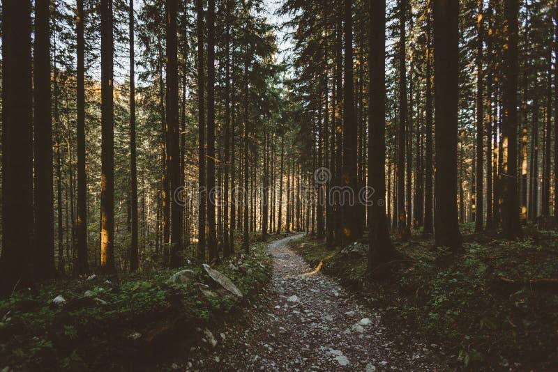 El bosque brumoso y muchos árboles verticales por la tarde se encienden imagen de archivo libre de regalías