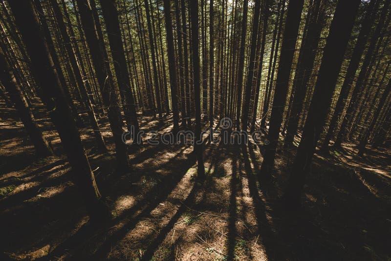 El bosque brumoso y muchos árboles verticales por la tarde se encienden fotos de archivo libres de regalías