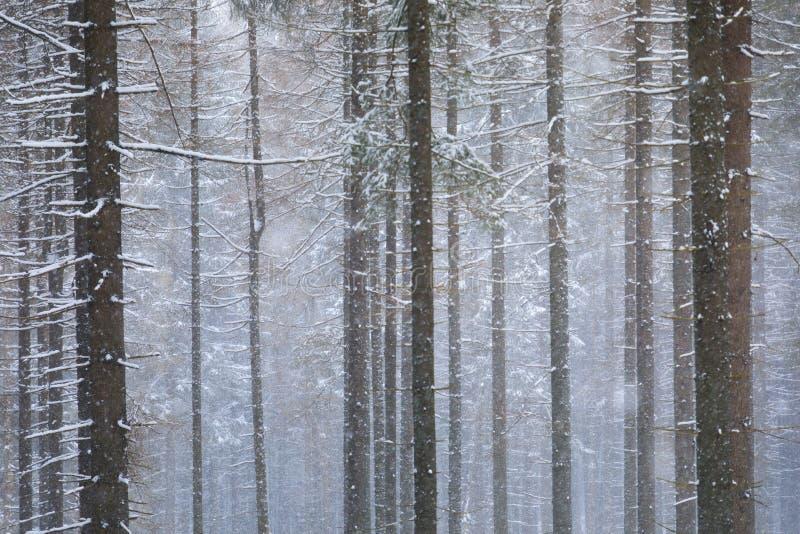 El bosque conífero en montañas imagenes de archivo