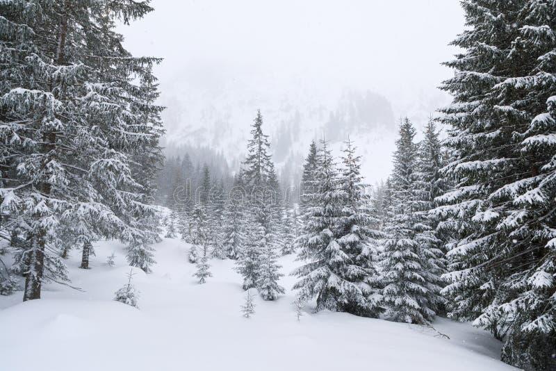 El bosque conífero en montañas imagen de archivo libre de regalías
