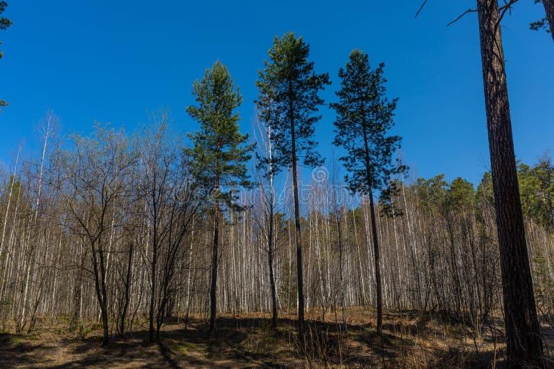 El bosque de la primavera con follaje no todavía floreció en un parque natural en Rusia fotos de archivo