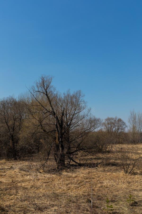 El bosque de la primavera con follaje no todavía floreció en un parque natural en Rusia imagenes de archivo