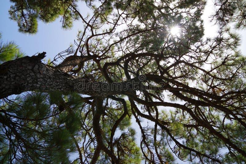 El bosque del árbol de pino en la isla del EL Hierro, Canarias, España imagenes de archivo