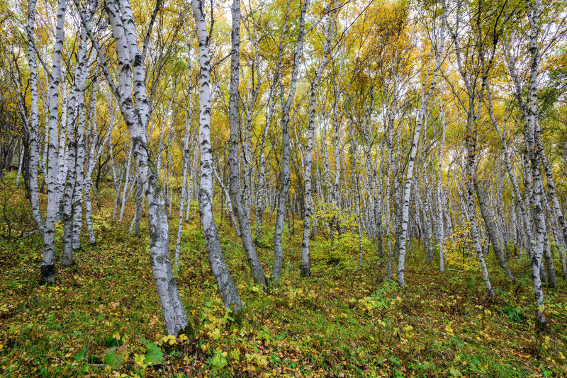 El bosque del abedul blanco fotos de archivo