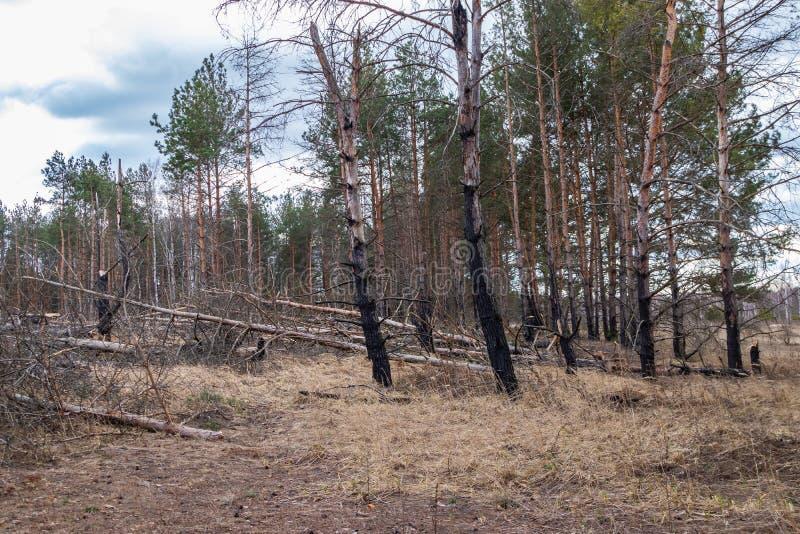 El bosque después de un fuego, desastre, fuego del pino quemó árboles fotos de archivo libres de regalías