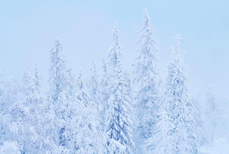 El bosque fabuloso en la puesta del sol, todo del invierno de la Navidad se cubre con nieve Pino y árboles spruce cubiertos en ni imagenes de archivo