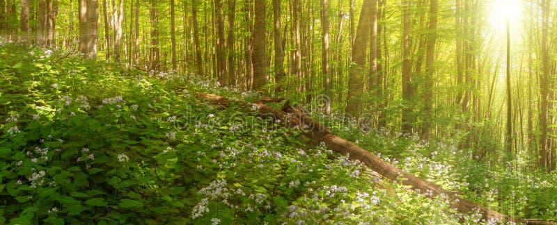 El bosque hermoso del verano del árbol de haya y del lunaria florece en luz del sol Panorama de la belleza asombrosa del bosque d fotos de archivo libres de regalías