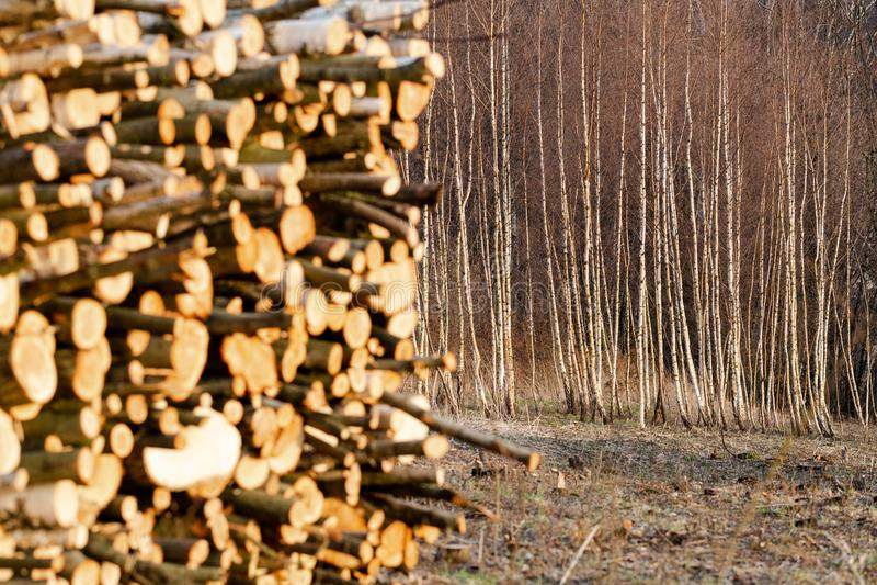 El bosque joven del abedul redujo en montañas polacas se centra en árboles foto de archivo libre de regalías